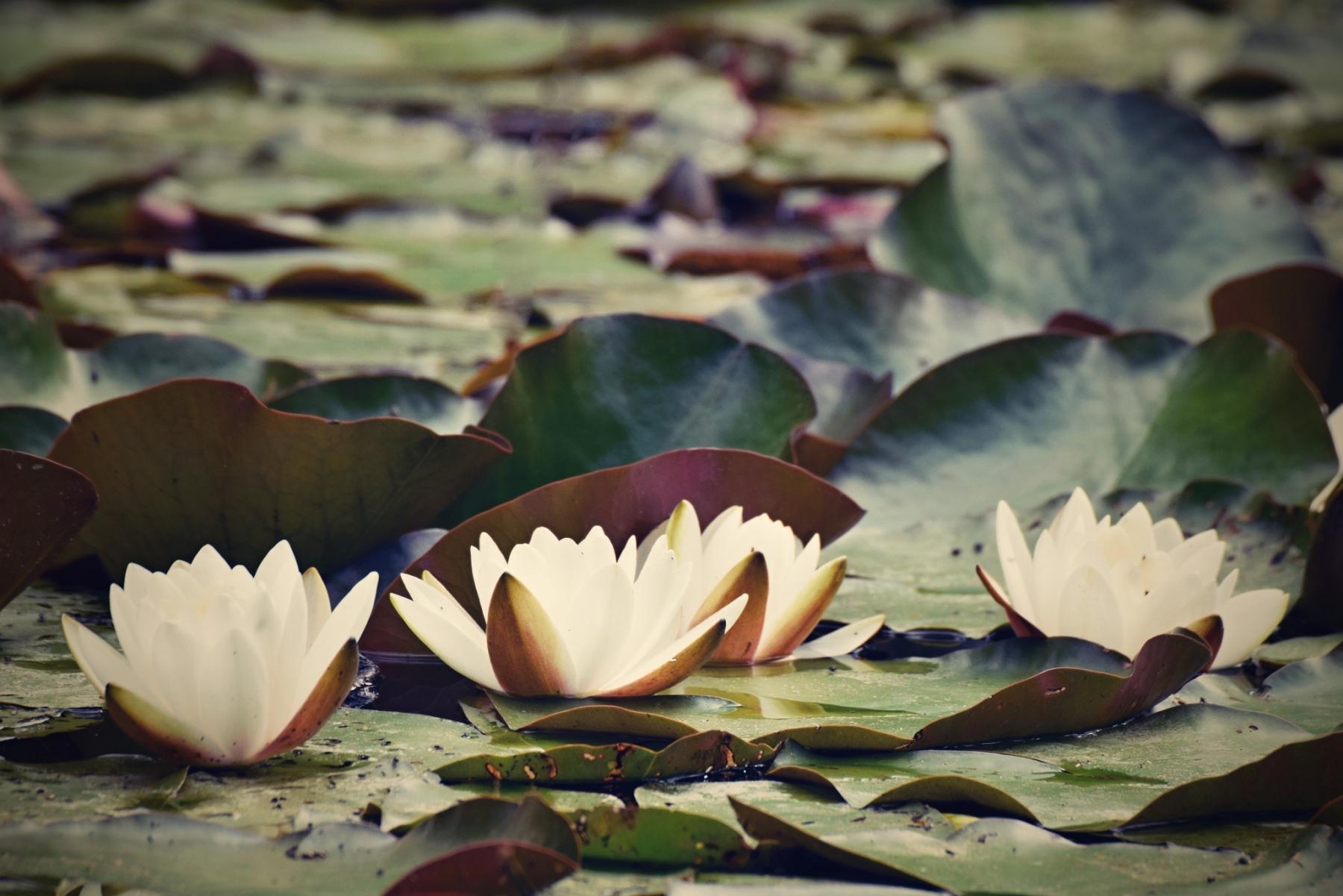 fleurs-aquatiques-flottantes