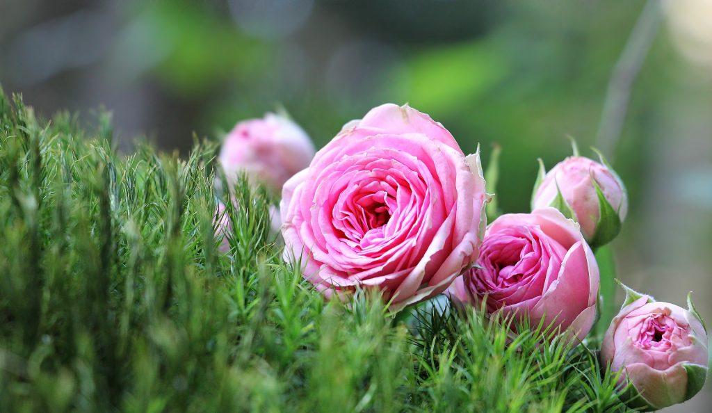 Roses de couleur rose dans un massif